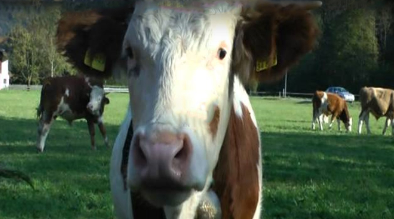 Rottach Egern Wanderung an Kühen vorbei Kuhherde Wiese Video Adel Blog